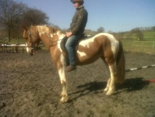 Coloured horse - 3 yrs 10 mths 16.0 hh Skewbald - Derbyshire
