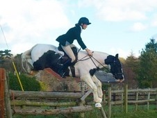 14. 1hh pony club/hunter