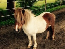 Striking 7 year old Shetland mare for sale