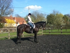 Lovely Thoroubred Mare For Sale