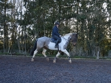 Stunning tricoloured mare for sale