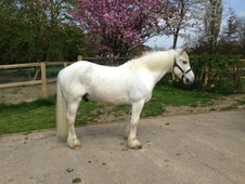 Cobs horse - 13 yrs 5 mths 14.3 hh Blue & White - Suffolk