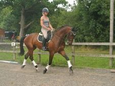 All Rounder horse - 6 yrs 17. 0 hh Bay