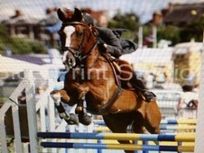 All Rounder horse - 13 yrs 16.2 hh Chestnut - Lancashire