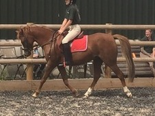 Holly 128cm, 11yr old Chestnut mare, riding club pony/BSJA pony