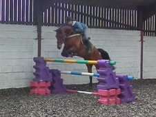 Show Jumpers horse - 9 yrs 15.3 hh Bay - Warwickshire