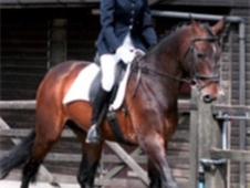 Stallions at Stud horse - 11 yrs 5 mths 16.1 hh Dark Bay - West Y...