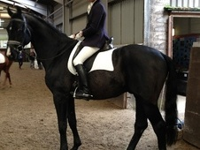 Stallions at Stud horse - 11 yrs 6 mths 17.1 hh Black - West York...