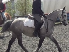 Pony Club Ponies horse - 7 yrs 14.1 hh Grey - Dorset
