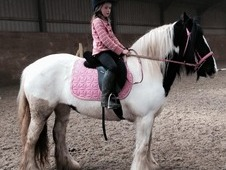 STUNNING COB MARE 14. 2HN 7 YEARS OLD