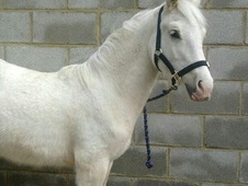 Mountain & Moorland horse - 1 yr 13.0 hh Palomino - West Yorkshire