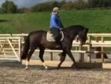 Ryan 16. 1hh gelding 13 years old Irish sports horse