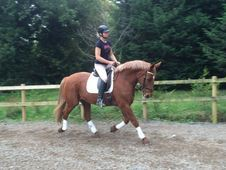 All Rounder horse - 14 yrs 16. 2 hh Chestnut