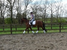 Dressage horse - 4 yrs 5 mths 16.0 hh Bright Bay - Lancashire