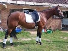 Beautifully Bred Irish Mare With Exceptional Temperament