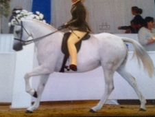 Showing horse - 11 yrs 14.1 hh Grey - Cleveland