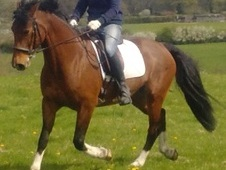 15. 2 bright bay mare Donnerhall lines