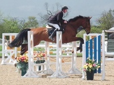 Show Jumpers horse - 7 yrs 16.3 hh Bay - West Yorkshire