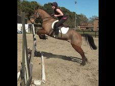 All Rounder horse - 8 yrs 15.1 hh  - Hampshire