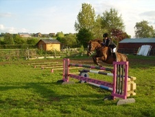 All Rounder horse - 18 yrs 13.3 hh Liver Chestnut - Northamptonshire