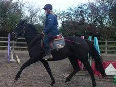 Quality Black Pink Papered and Graded Oldenburg 2011 Filly