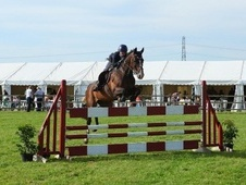 Show Jumpers horse - 12 yrs 16.3 hh Bay - Somerset
