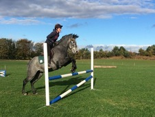 16hh Dark Grey Mare 5yrs Old- Great Paces- Top Horse