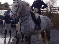 16. 2 Hunter, Showjumper irish Draught Horse