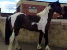 All Rounder horse - 11 yrs 15.1 hh Skewbald - County Durham