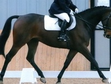 Eventers horse - 5 yrs 16.0 hh Dark Bay - Cambridgeshire