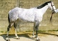 All Rounder horse - 11 yrs 15.1 hh Dapple Grey - Kent
