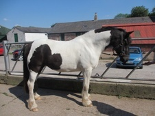 All Rounder horse - 5 yrs 14.2 hh Piebald - Cheshire