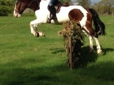 All Rounder horse - 5 yrs 1 mth 14.2 hh Skewbald - Cheshire