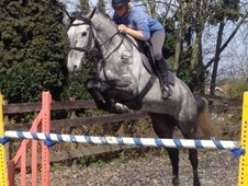 Show Jumpers horse - 6 yrs 16.2 hh Grey - Kent