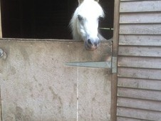 Lead Rein Pony For Re Homing