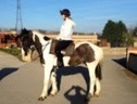 All Rounder horse - 6 yrs 15.2 hh Piebald - County Durham