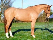 Sports Horses horse - 10 yrs 16.3 hh Chestnut - Kent