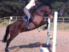 All Rounder horse - 5 yrs 14.2 hh Bay - North Yorkshire