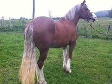 All Rounder horse - 7 yrs 1 mth 14.0 hh Chestnut - Cheshire
