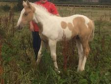 Palomino And White Wb Colt