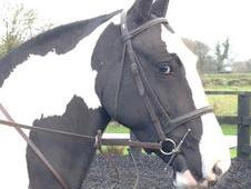 15hh Flashy Show Cob - Open To Offers.