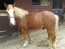 13. 1hh chestnut with flaxen mane and tail