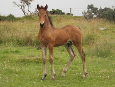 Quality Friesian X Coloured Colt Foal