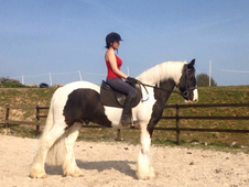 ** 15. 3hh STUNNING QUALITY IRISH COB **