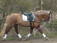 Mountain & Moorland horse - 4 yrs 14.2 hh Chestnut - West Yorkshire