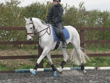 All Rounder horse - 13 yrs 16.1 hh Fleabitten Grey - Worcestershire