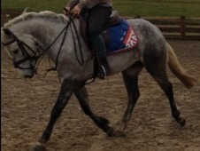 Flashy 14hh 6yr old registered connemara gelding