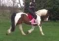 All Rounder horse - 10 yrs 16.1 hh Bay - Tyne And Wear