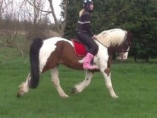 All Rounder horse - 10 yrs 16.1 hh Bay - West Midlands