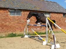 Show Jumpers horse - 6 yrs 7 mths 16.1 hh Dark Bay - Leicestershire